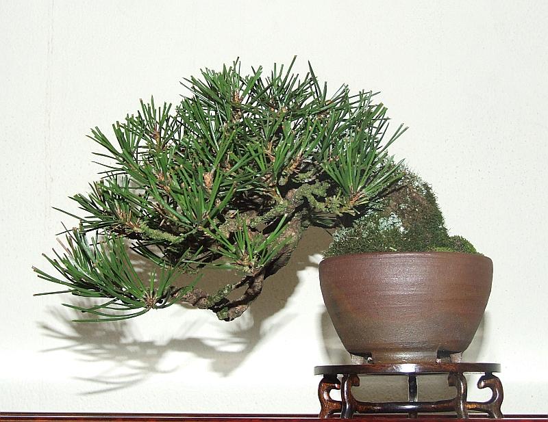 EUK Shohin kazari Pinus Paul 4