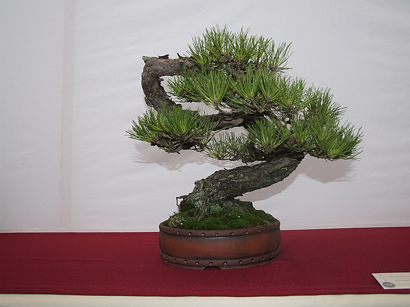 EUK pinus densiflora Ronny Ernest 2