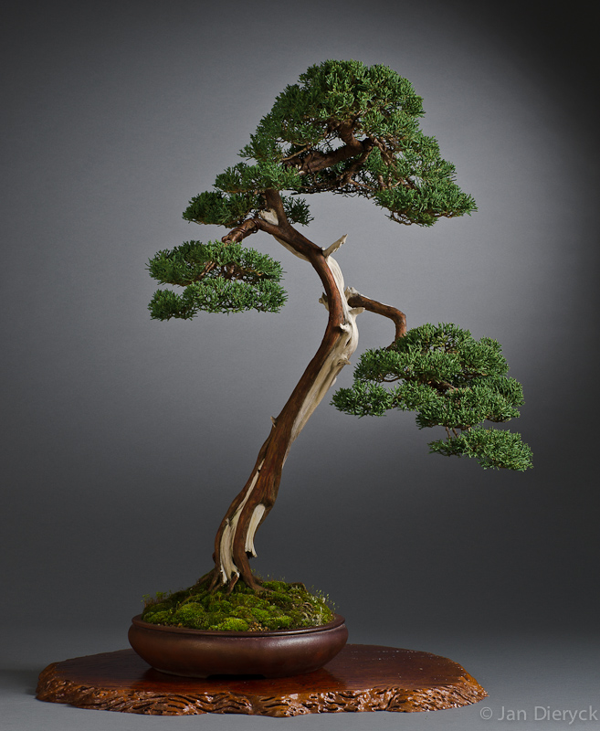 Juniperus chinensis - Hans Vleugels