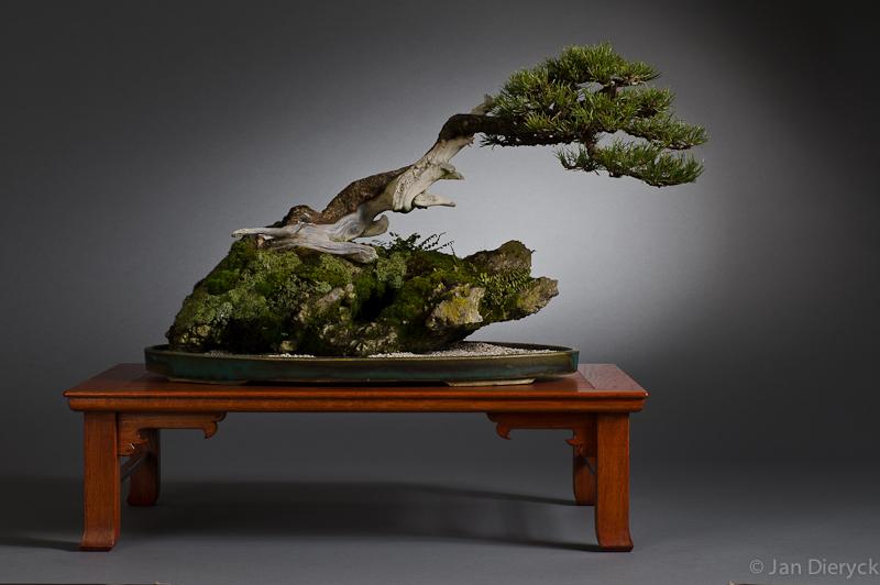 Pinus mugo - Marinko Beg