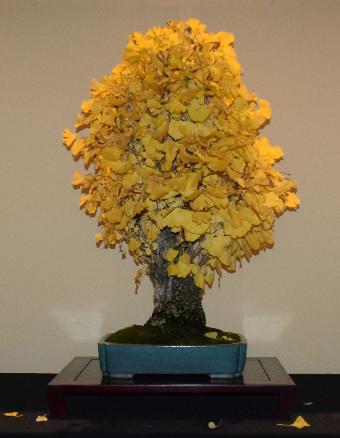 euk-bonsai-ten-2016-jp-polmans-collectie-003