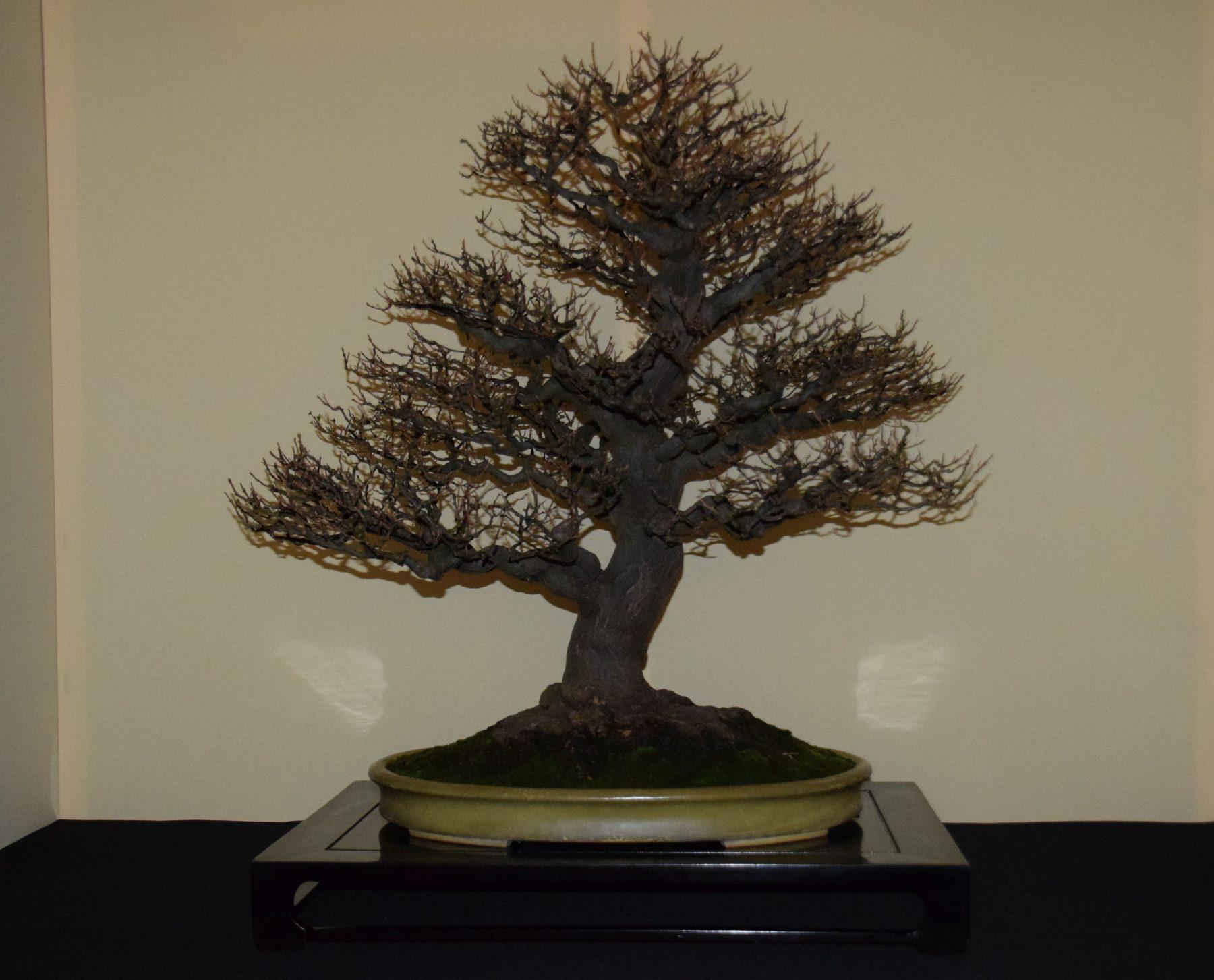 euk-bonsai-ten-2016-jp-polmans-collectie-005
