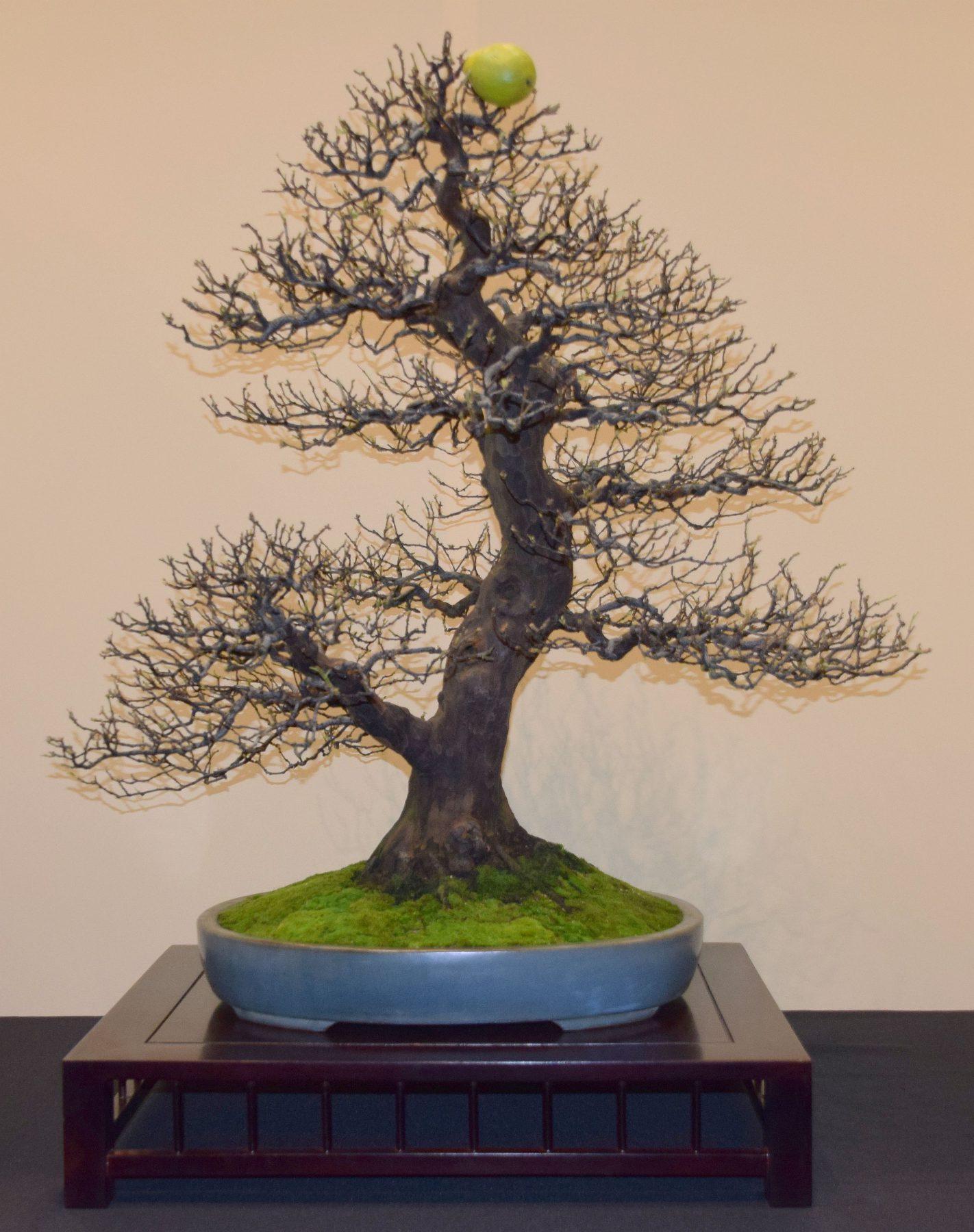 euk-bonsai-ten-2016-jp-polmans-collectie-008