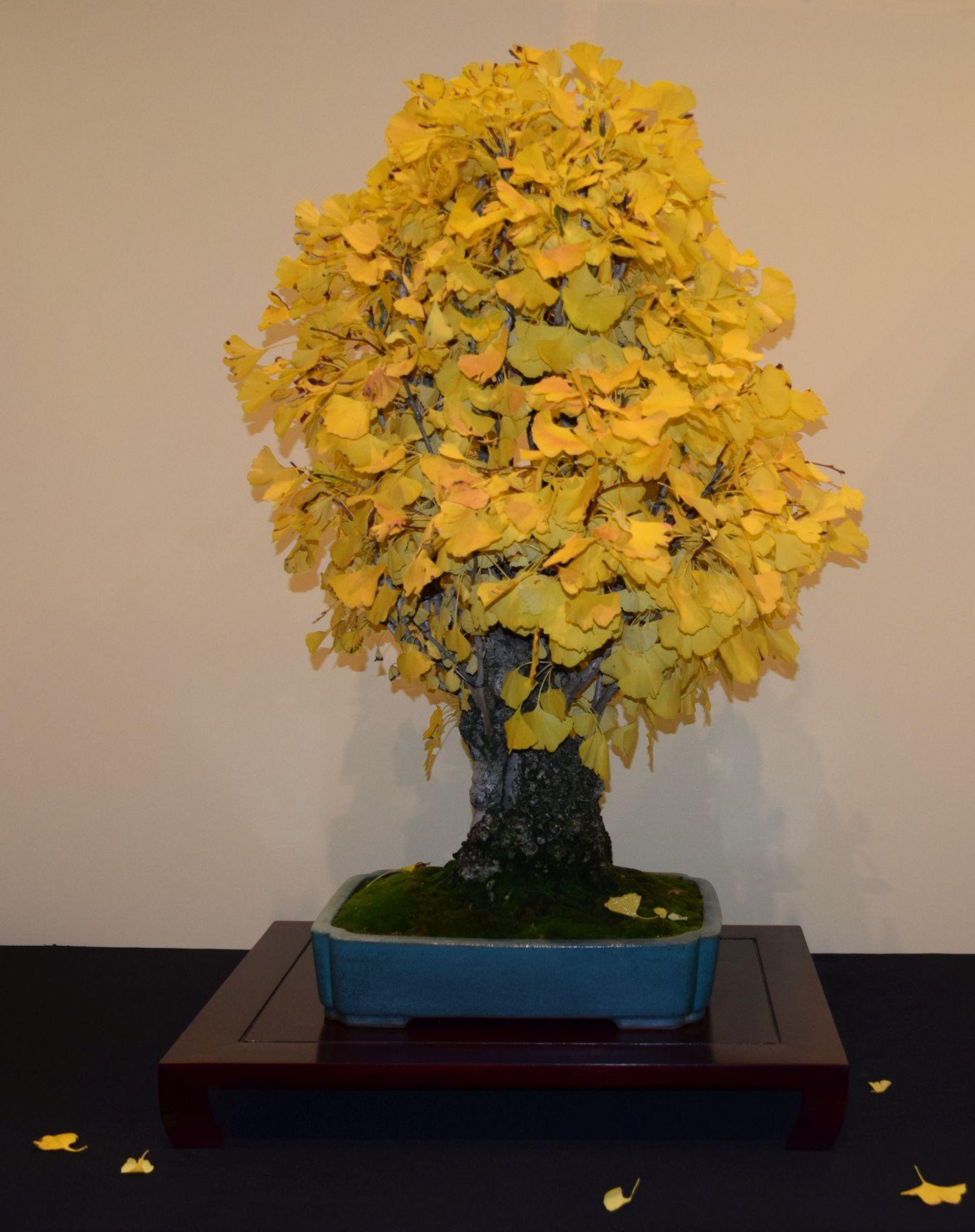 euk-bonsai-ten-2016-jp-polmans-collectie-011