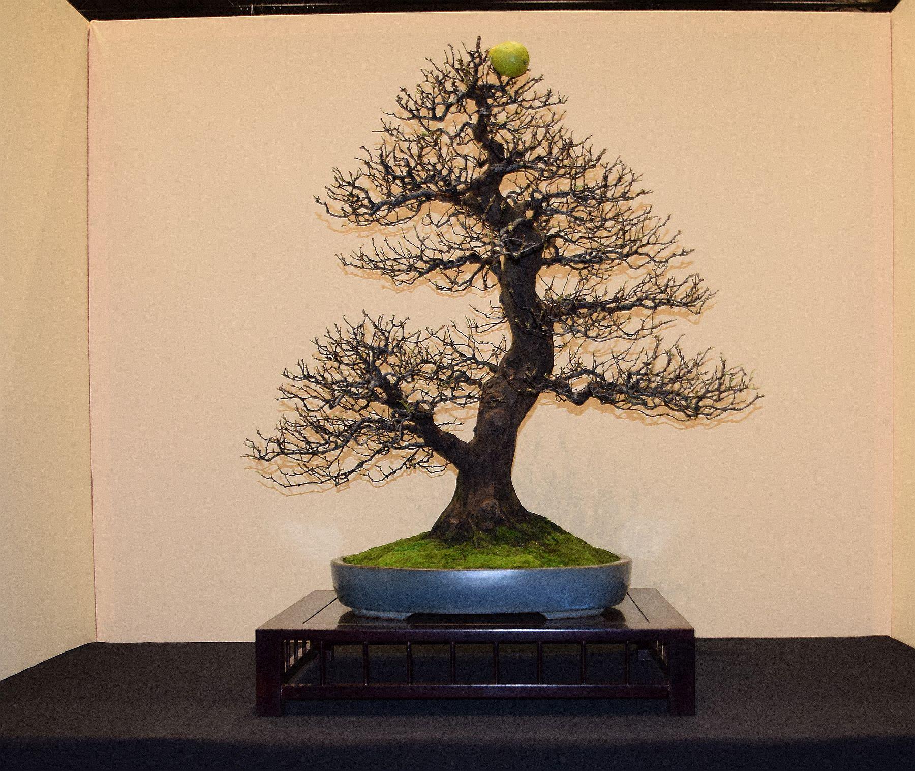 euk-bonsai-ten-2016-jp-polmans-collectie-014