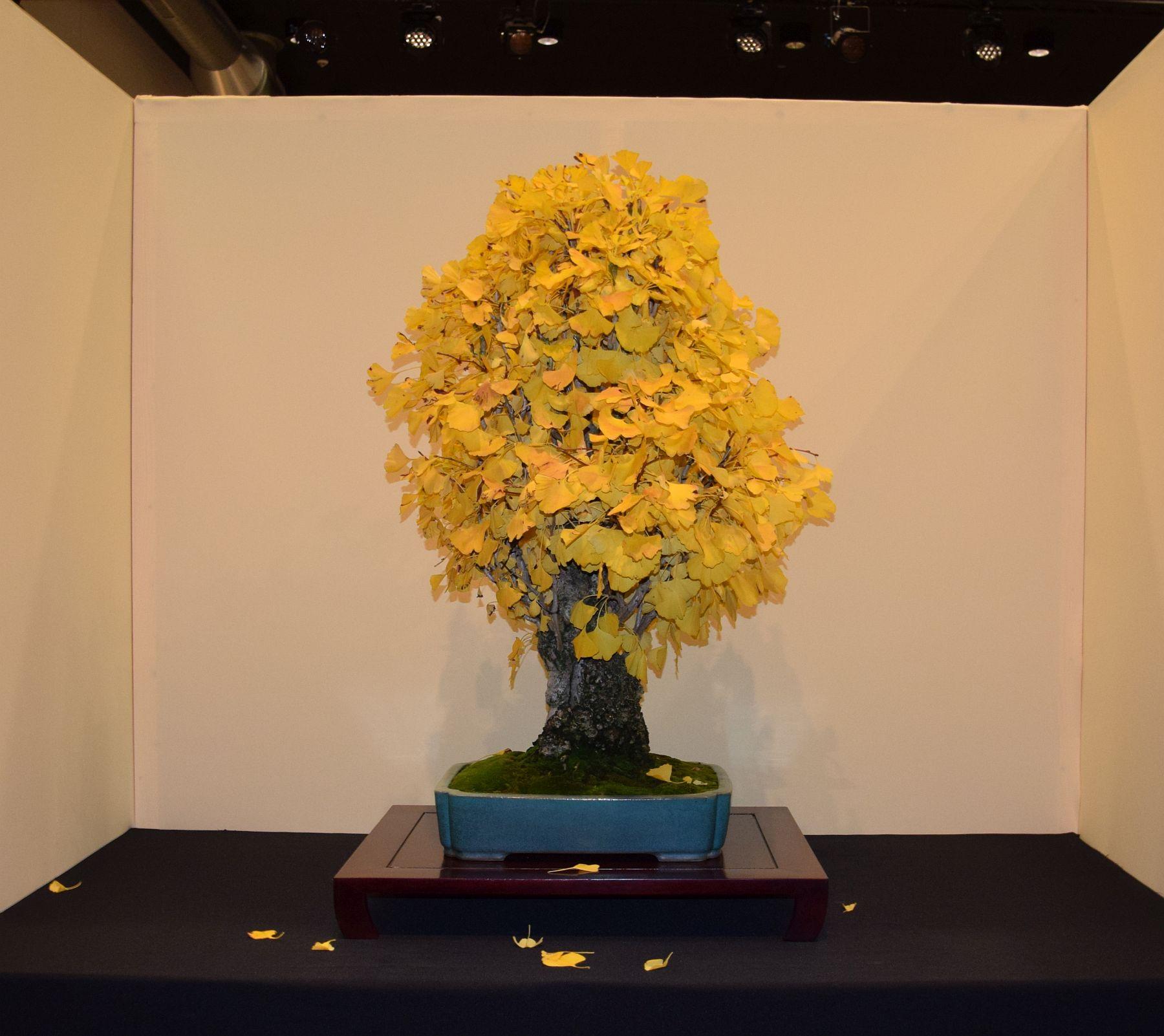 euk-bonsai-ten-2016-jp-polmans-collectie-016