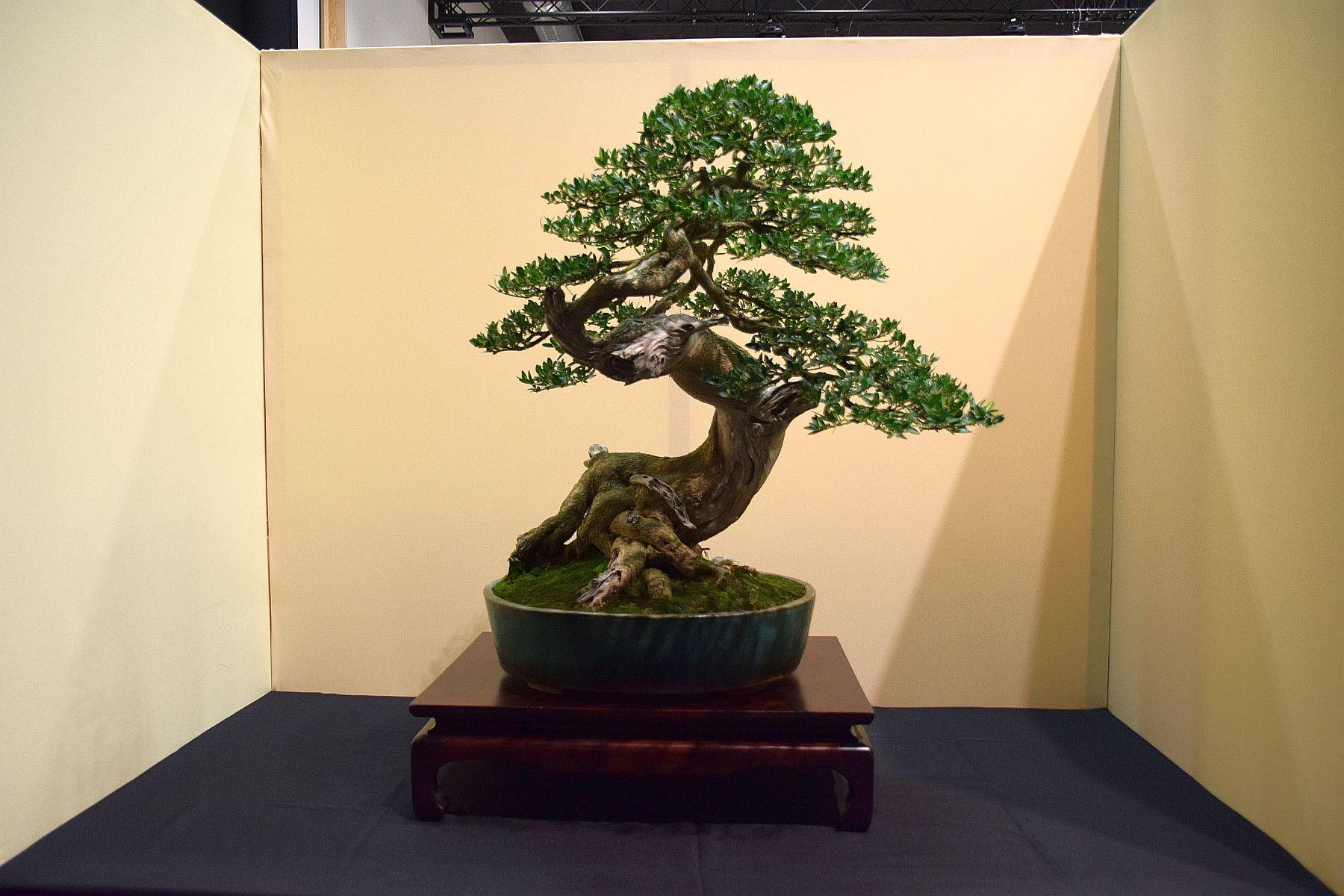 euk-bonsai-ten-2016-jp-polmans-collectie-018