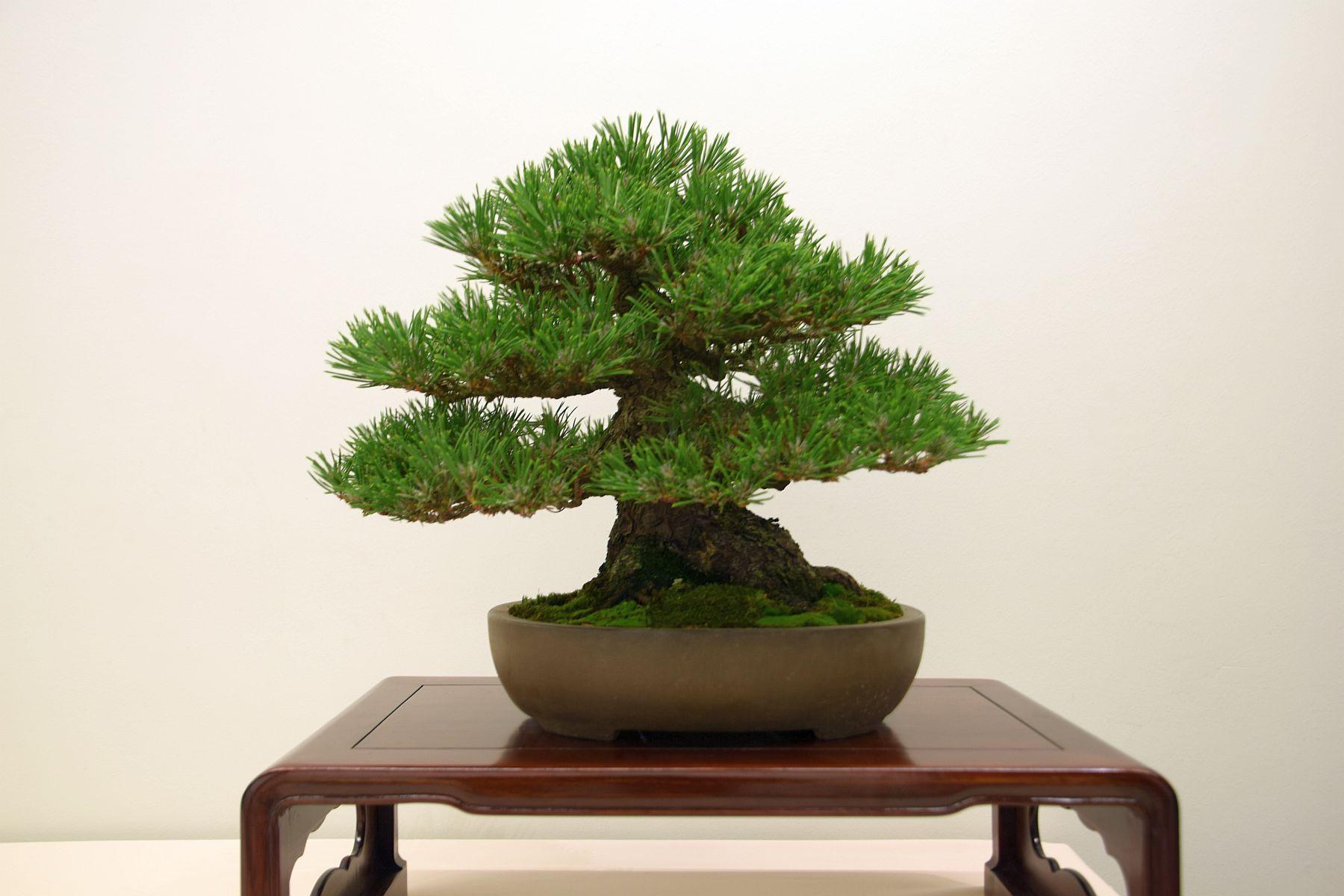 euk-bonsai-ten-2016-club-bonsai-001
