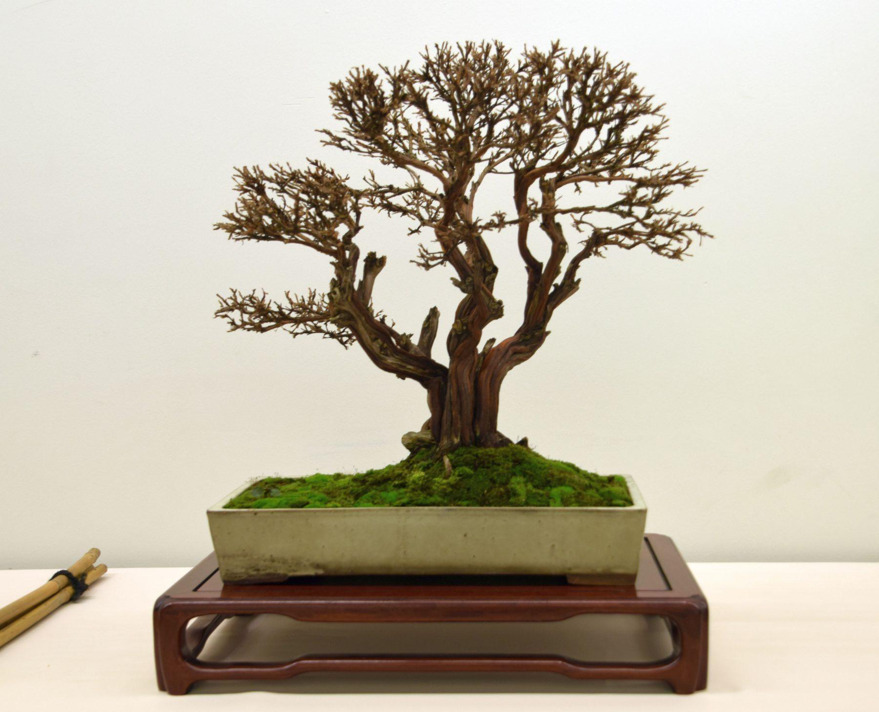 euk-bonsai-ten-2016-club-bonsai-004