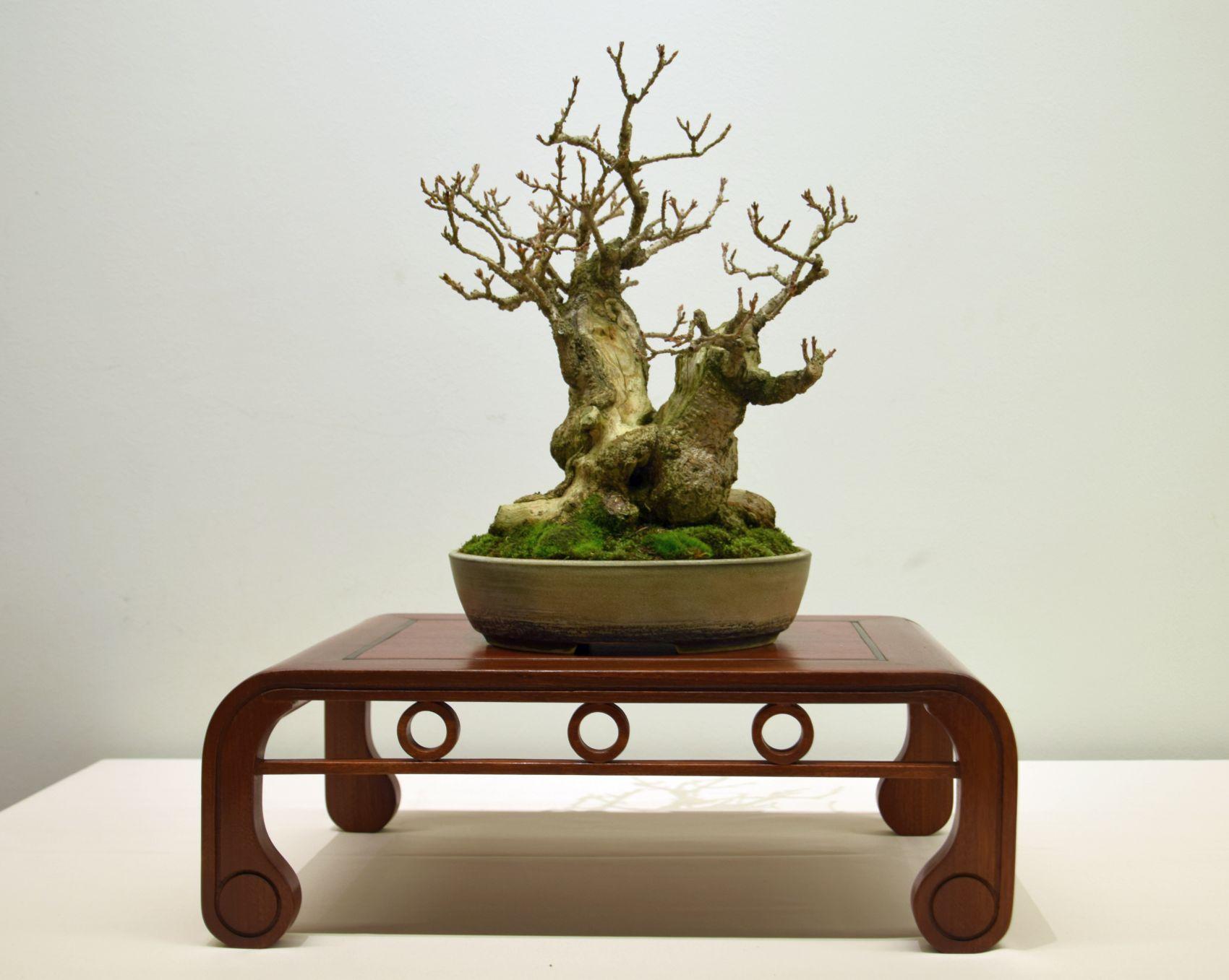 euk-bonsai-ten-2016-club-bonsai-007