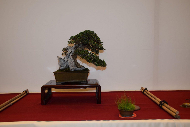 euk-bonsai-ten-2016-club-bonsai-024