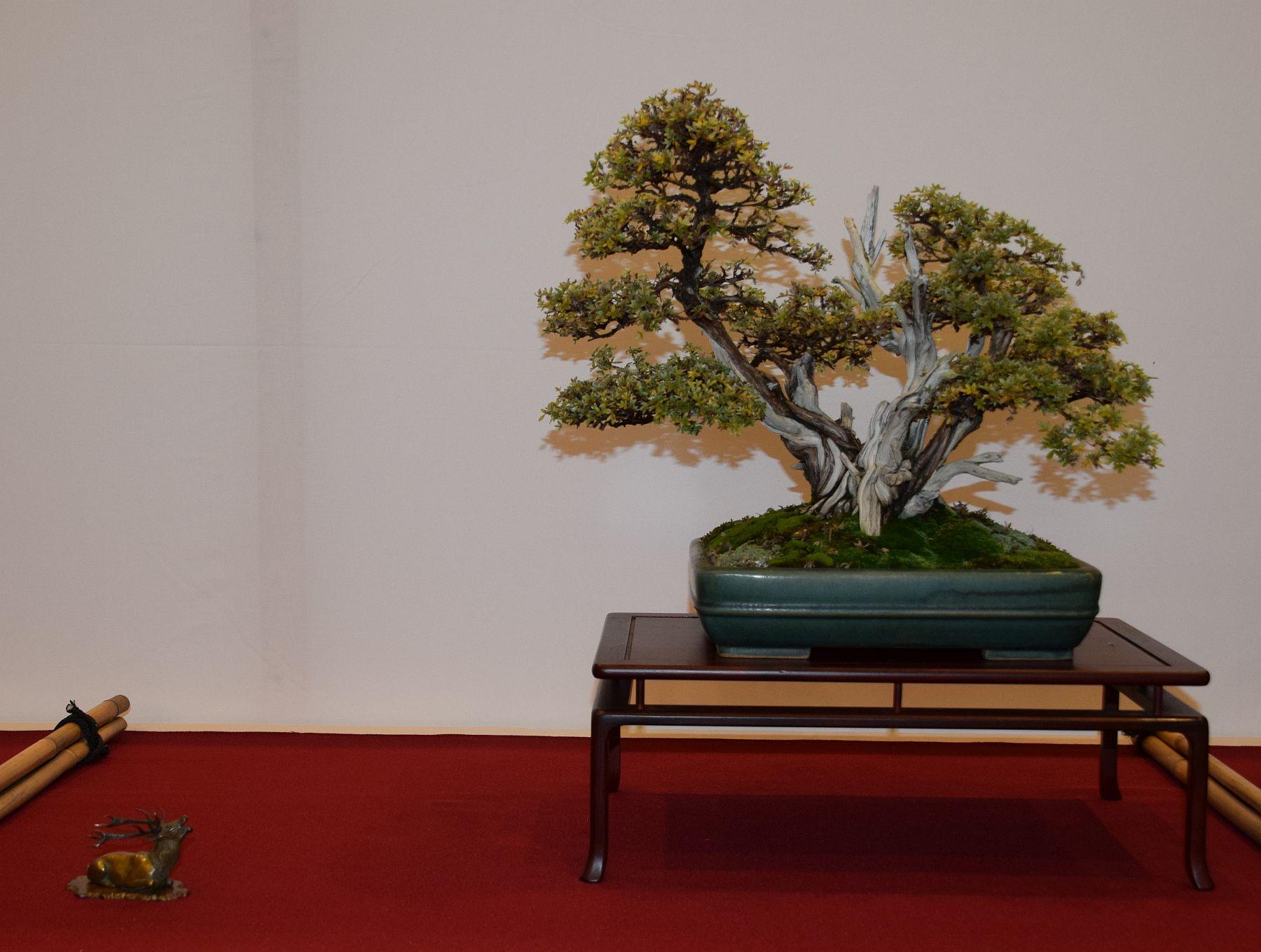euk-bonsai-ten-2016-club-bonsai-027