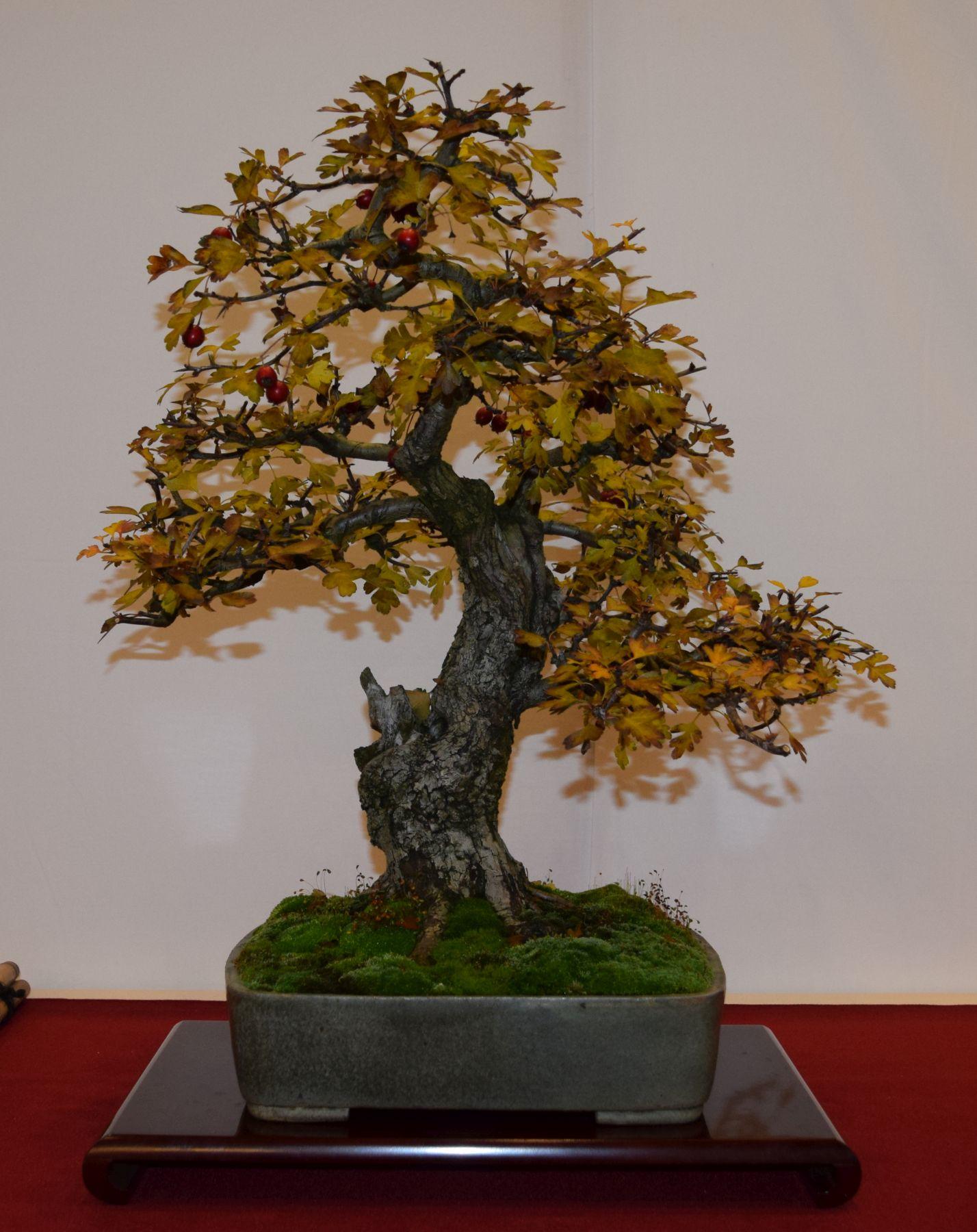euk-bonsai-ten-2016-club-bonsai-029