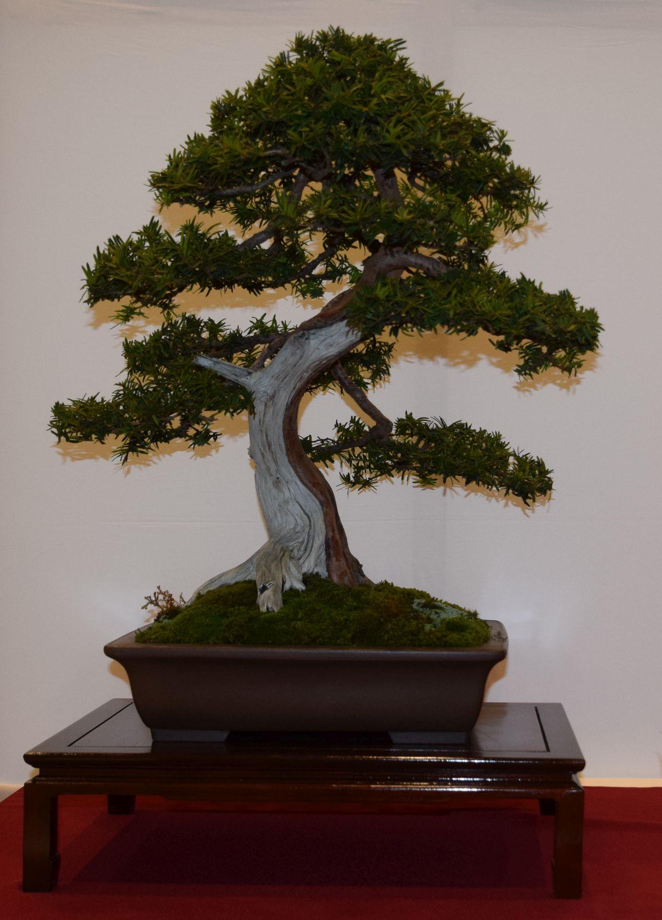 euk-bonsai-ten-2016-club-bonsai-030