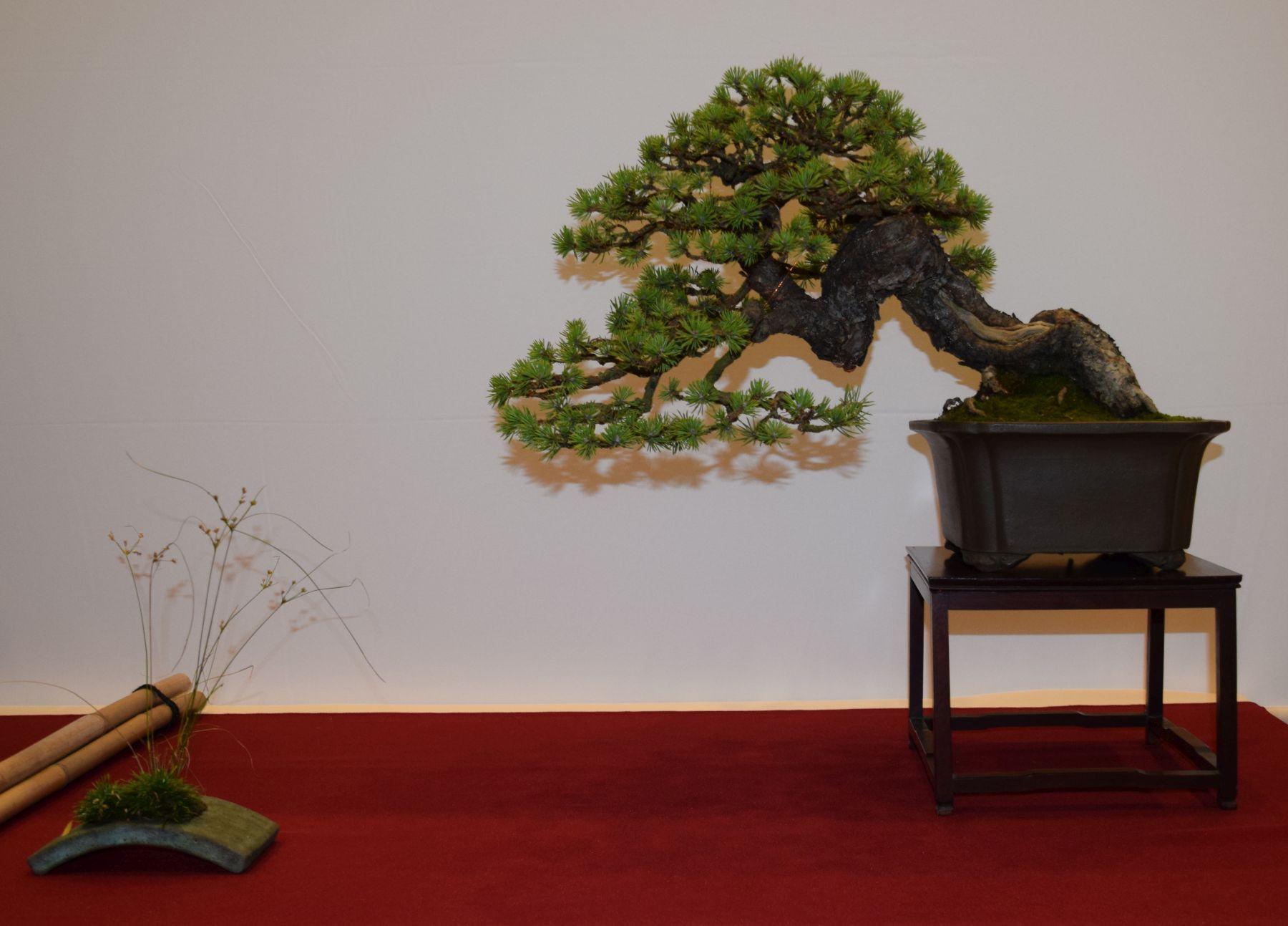 euk-bonsai-ten-2016-club-bonsai-040