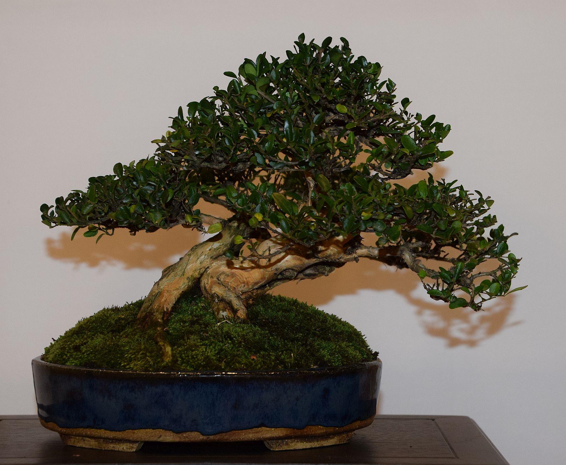 euk-bonsai-ten-2016-club-bonsai-103