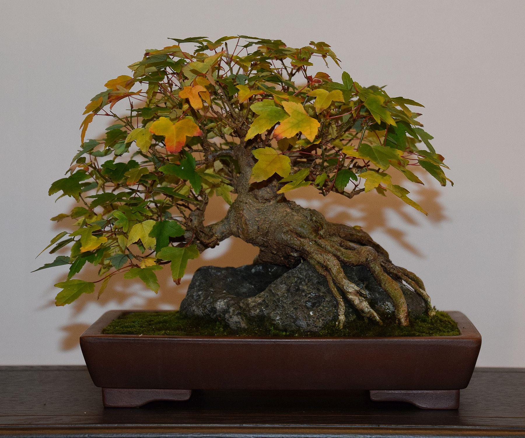 euk-bonsai-ten-2016-club-bonsai-104