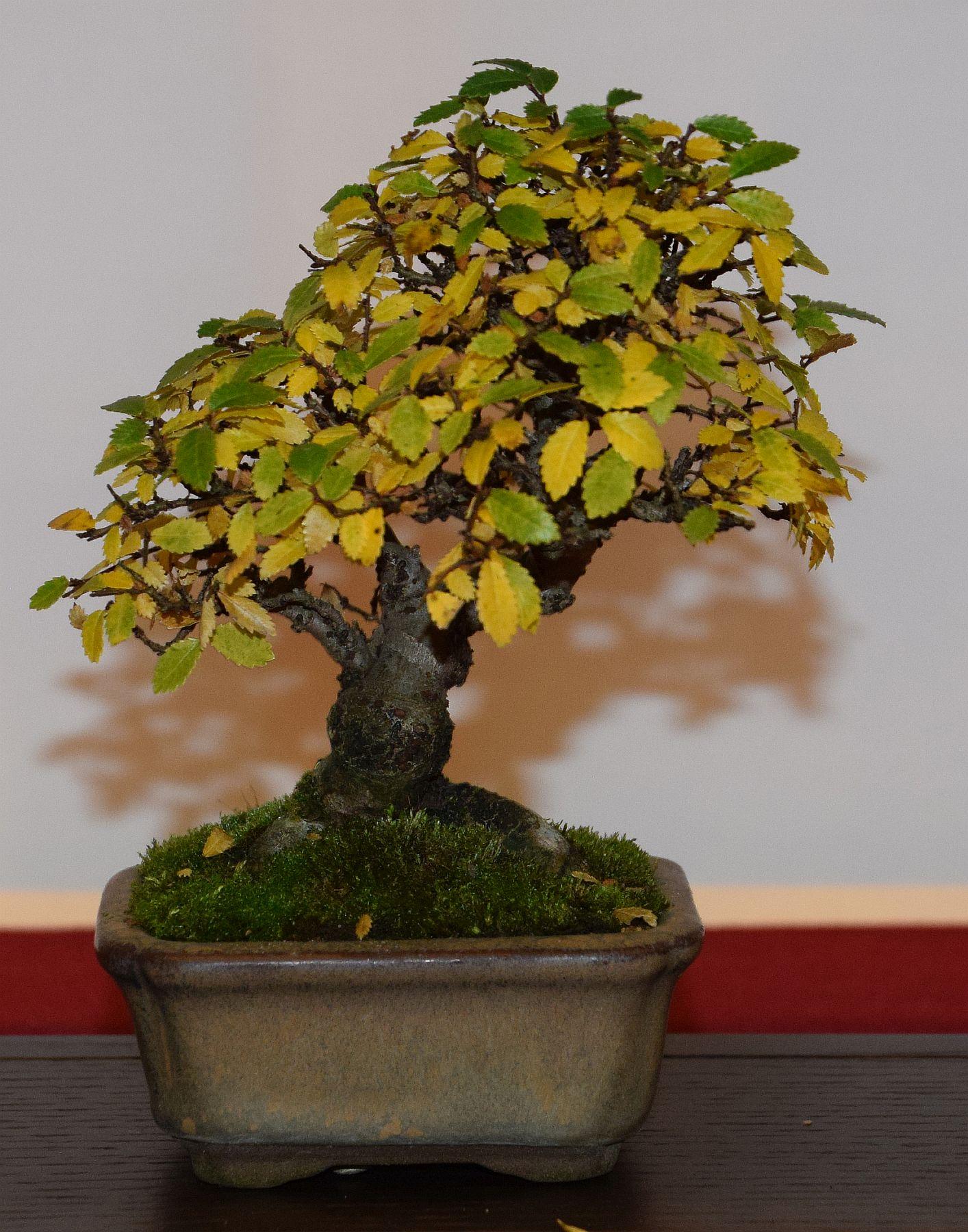 euk-bonsai-ten-2016-club-bonsai-112