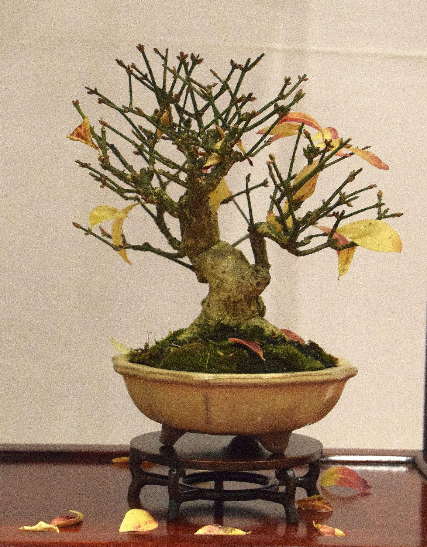 euk-bonsai-ten-2016-club-bonsai-120