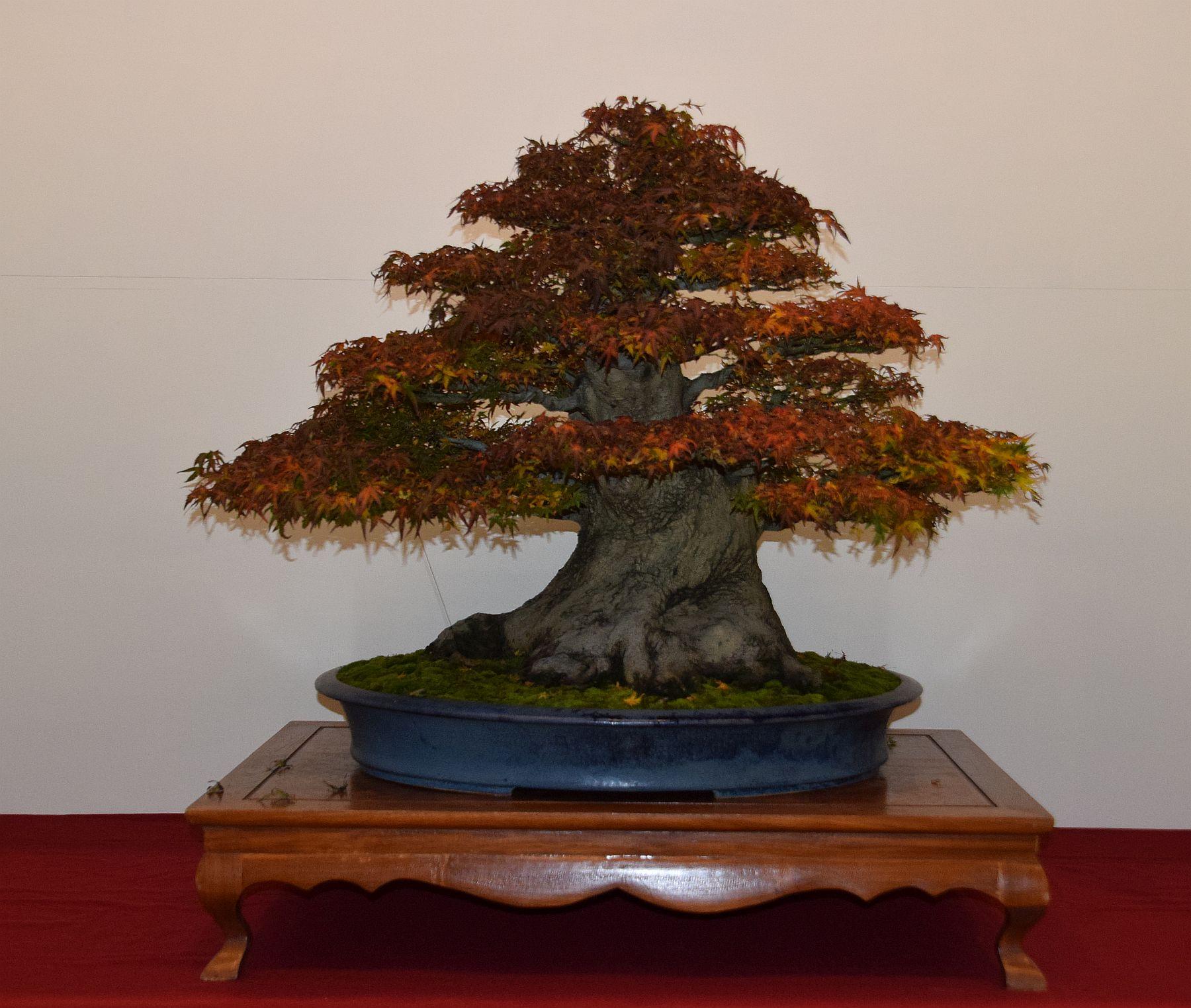 euk-bonsai-ten-2016-club-bonsai-133